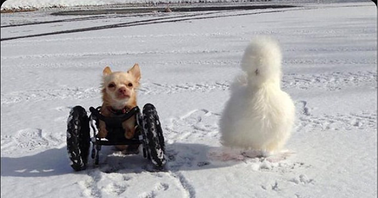 Chihuahua and chicken play in the snow.