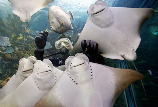 smiling manta rays