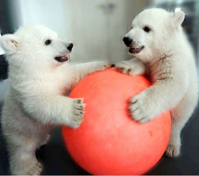 two-polar-bears-playing-with-red-ball