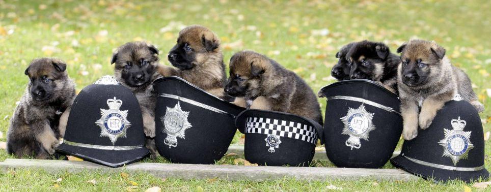 Seven-strong litter of German shepherd police pups