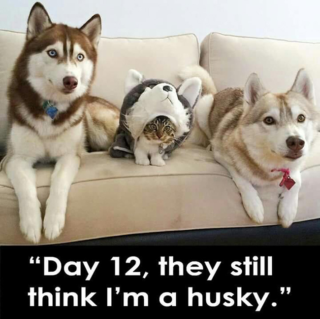 16 Hilarious Husky Memes You've Been Missing In Your Life ...