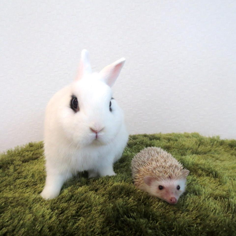 Japan Just Opened World S First Hedgehog Cafe These 24