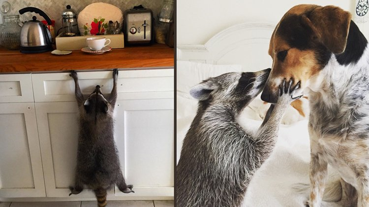raccoon hanging from cabinet and kissing dog