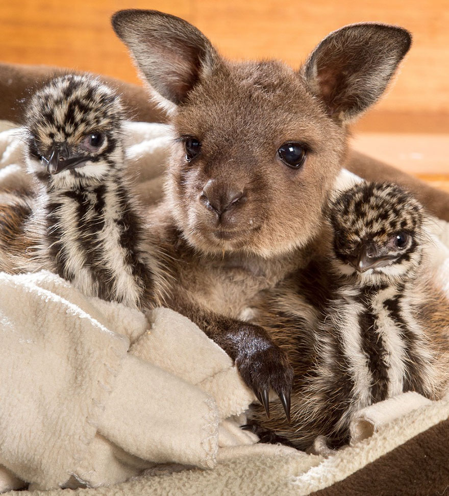 baby-kangaroo-emu-cuddle-sandwich-edi-eli-reuben-3