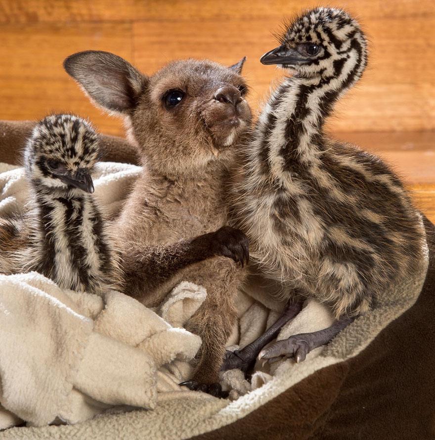 baby-kangaroo-emu-cuddle-sandwich-edi-eli-reuben-1