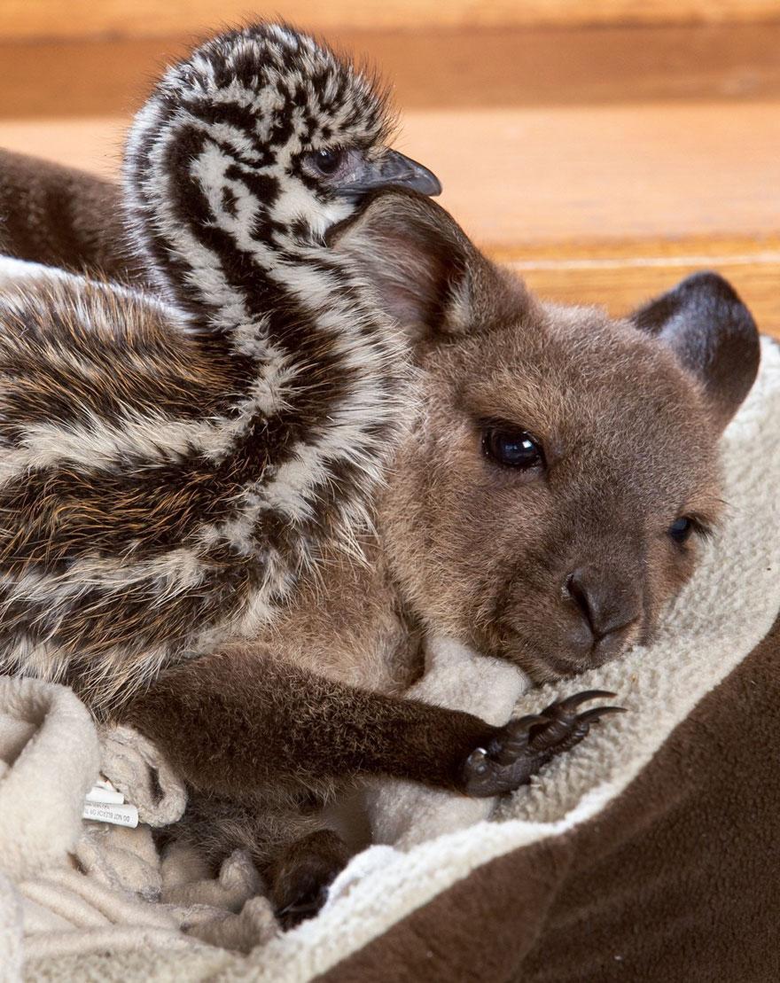 baby-kangaroo-emu-cuddle-sandwich-edi-eli-reuben-4