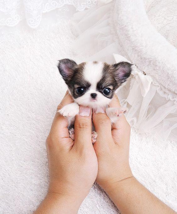 26 Teeny Tiny Puppies Guaranteed To Make You Say Awww