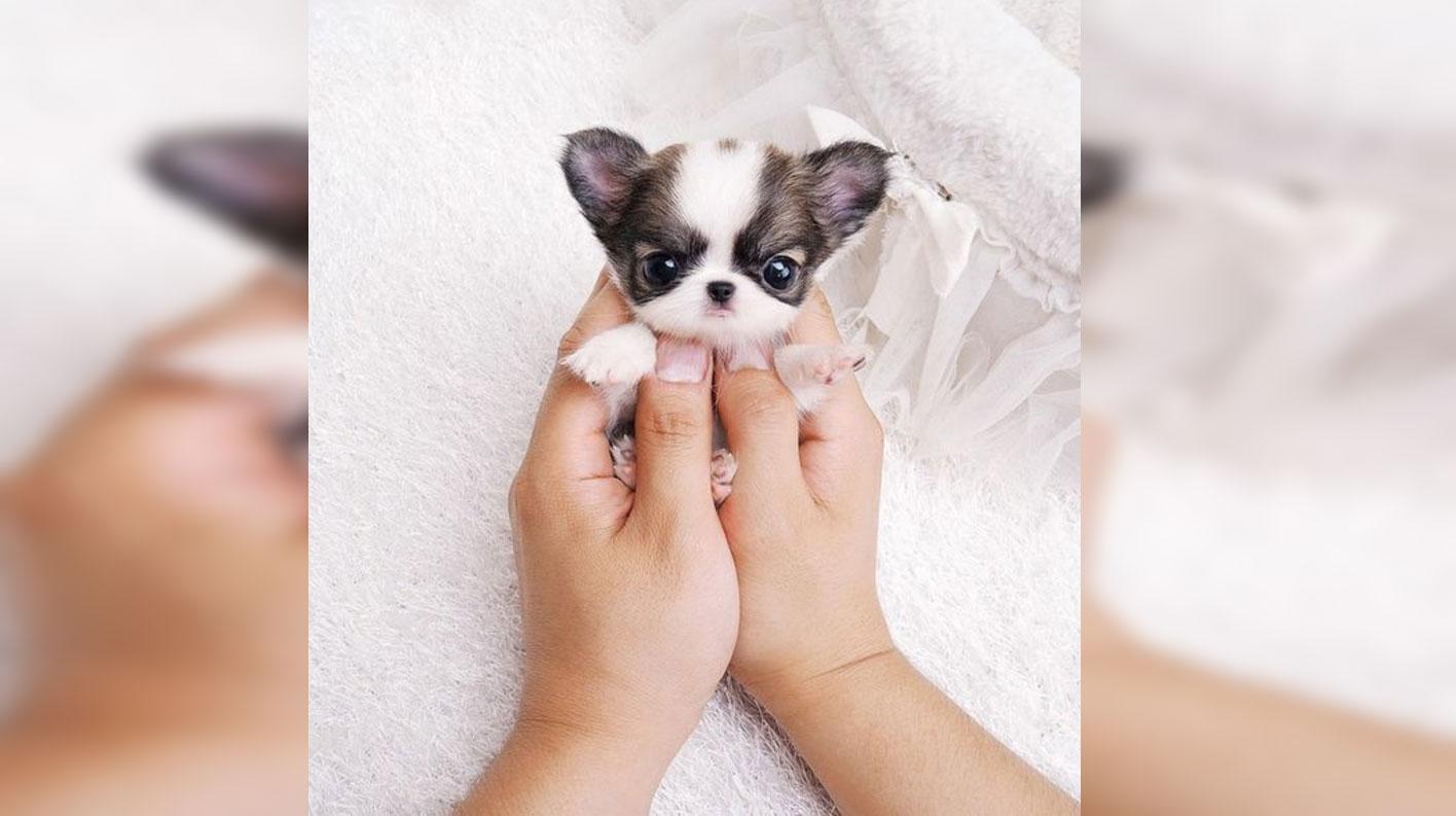26 Teeny Tiny Puppies Guaranteed To Make You Say Awww Inspiremore