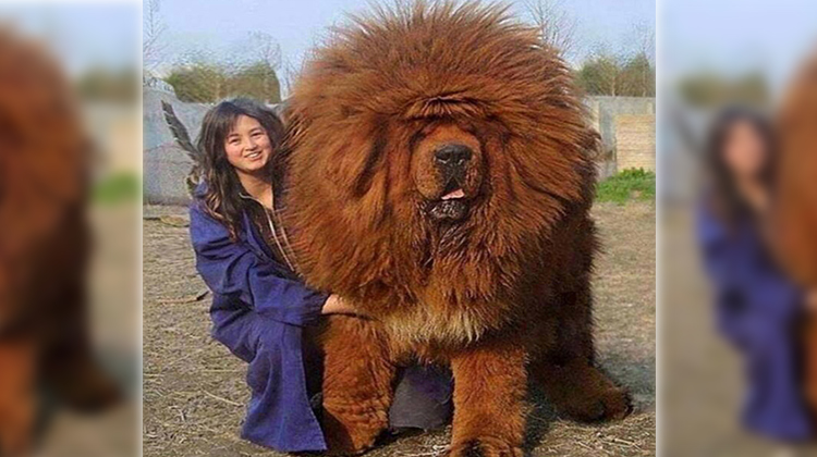 Big Fluffy Dog Breeds That Don