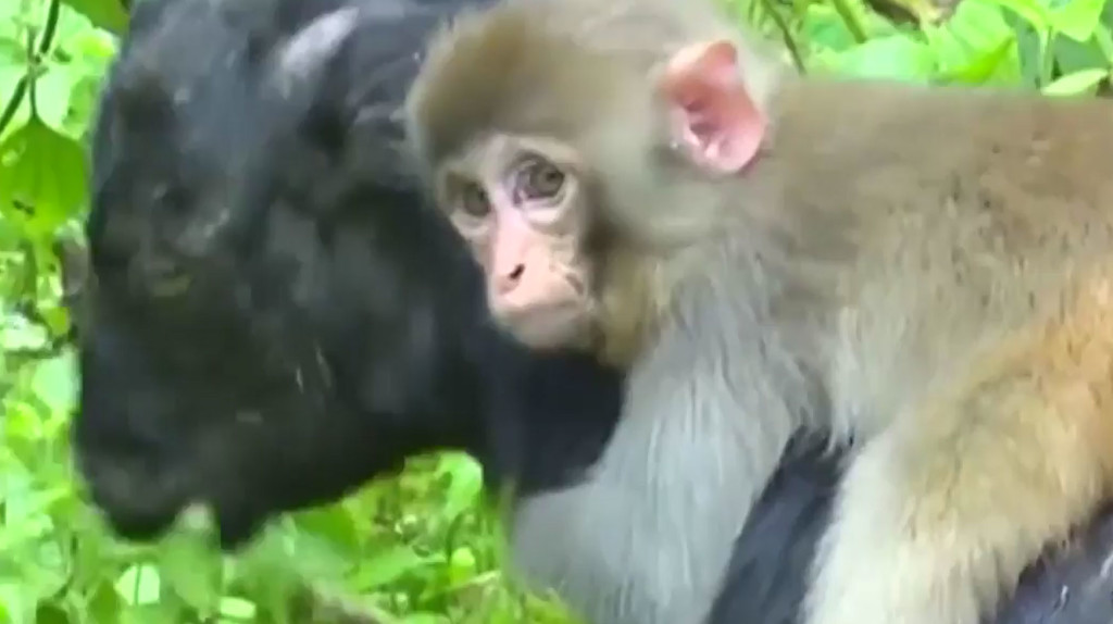monkey clings to goat