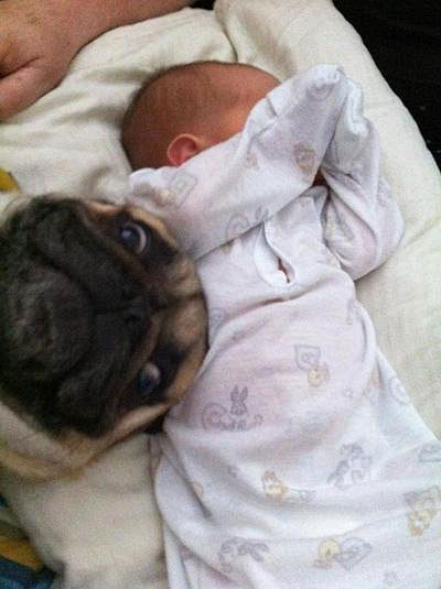 pug-mug-baby-photobomb