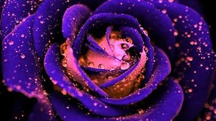 Purple and pink rose