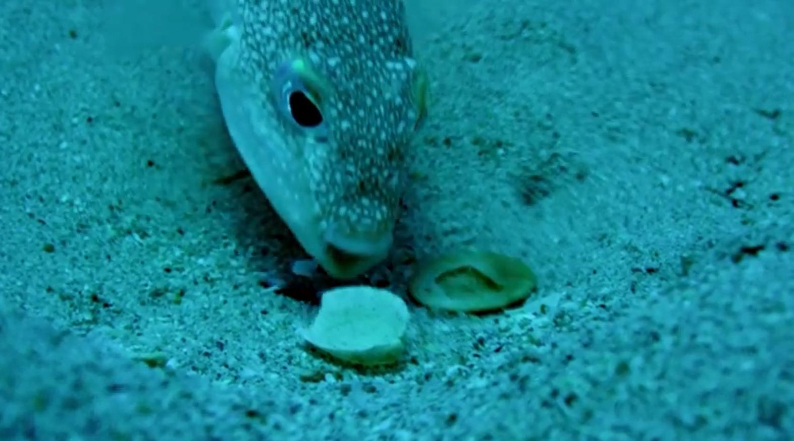 Pufferfish crafts astonishing underwater masterpiece that for Puffer fish sand art
