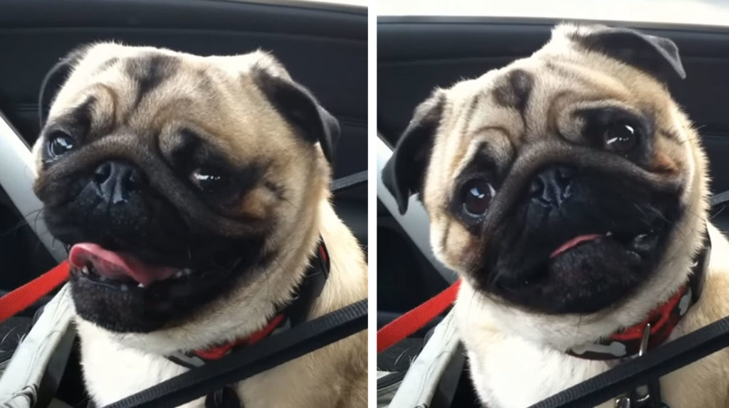 pug petsmart dad asks pug quot wanna go to petsmart quot then catches him 4319