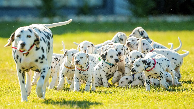 Vet Said Dalmatian Would Only Have 3 Puppies But She Shatters