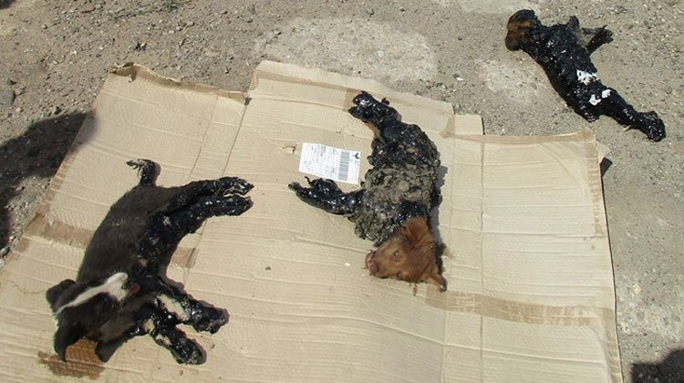 dogs covered in tar in romania