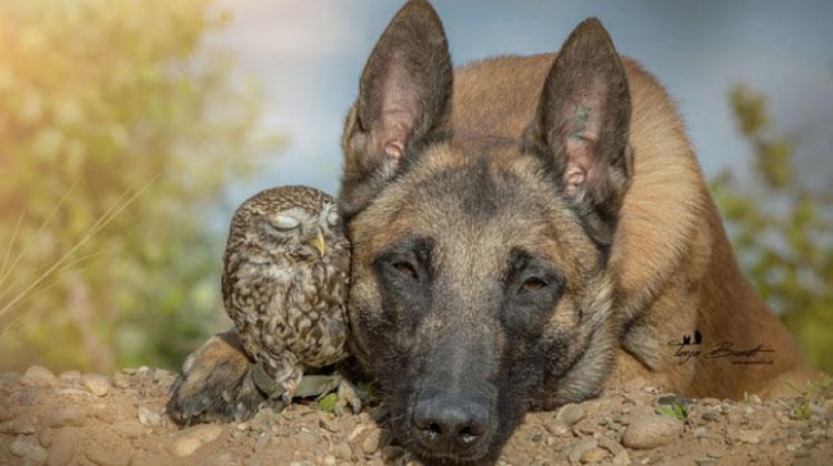 belgian shepherd cuddles with tiny owl