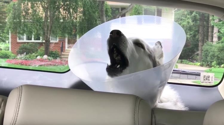 zeus husky comes out for anesthesia