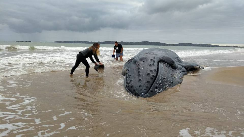 Image result for 32 feet Giant Whale Recovered At Buzios beach