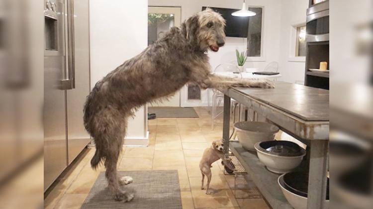wolf dog and chihuahua doing same pose