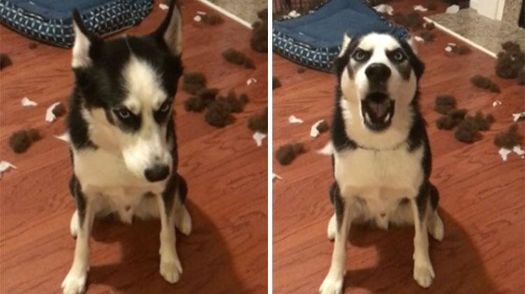 husky tantrum