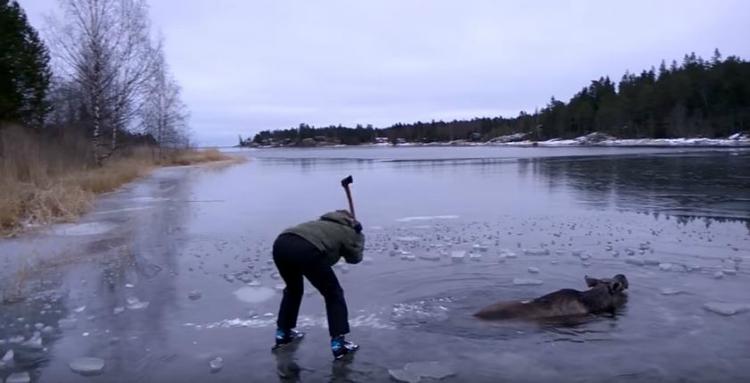 scared moose ice chop