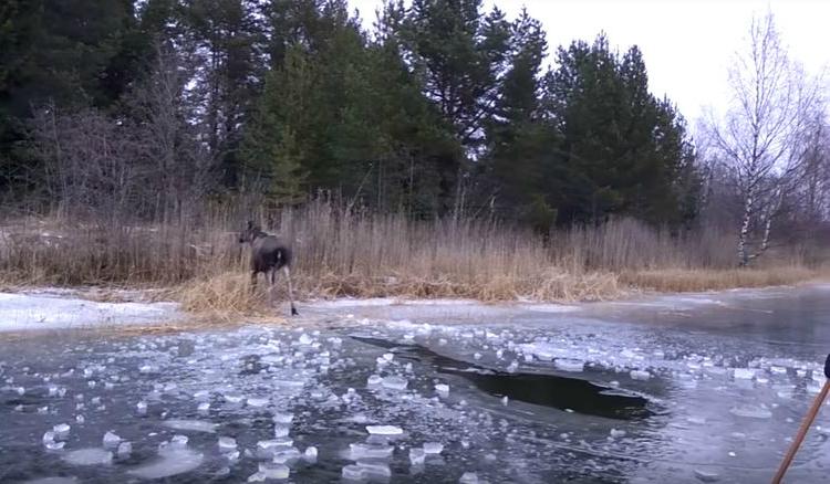 moose on land