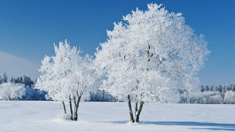 trees covered with frost