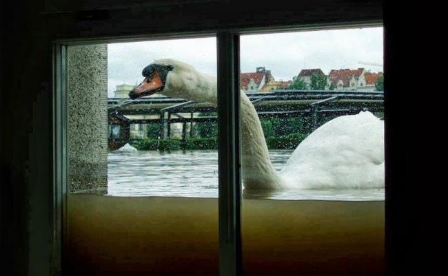 swan flood