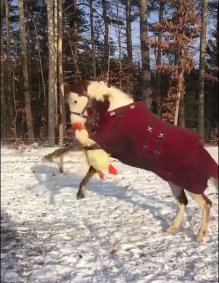 New Hampshire Working Horse Goes Crazy For New Toy - InspireMore