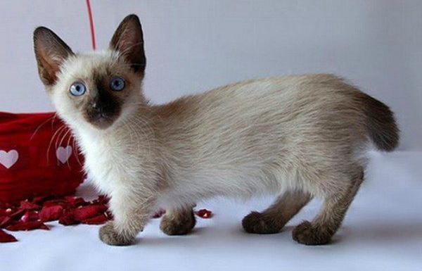 21 Adorable Short Legged Munchkin Cats Inspiremore