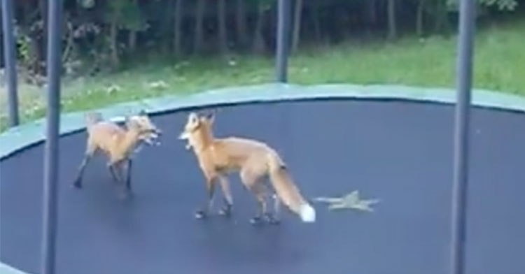 trampoline foxes