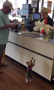 Tiny Yorkie Picks Out Biggest Toy In Store Inspiremore