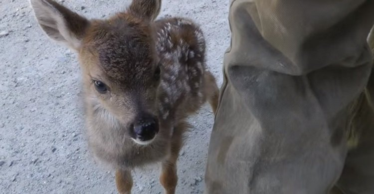 A baby deer got up to investigate a kindly logger who stopped by to make sure she and her sibling were okay. In appears this sweetheart mistook him for mama!