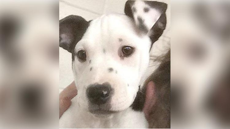 Pitbull with selfie ear