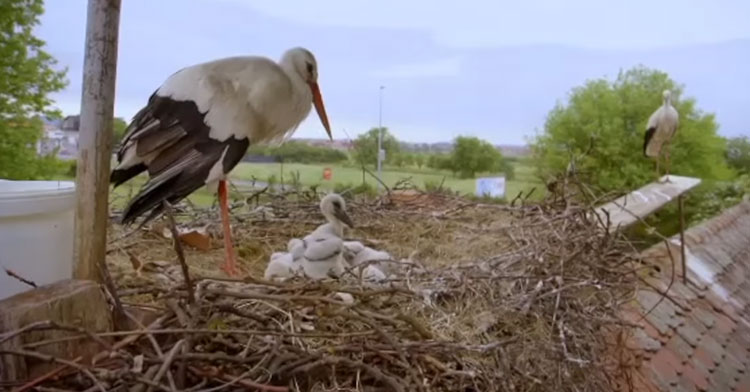 Faithful Stork Flies 5,000 Miles Every Year To Be With His Disabled Love.