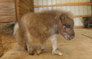 Pumpkin, a dwarf pony, was born with a deformity that left her unable to walk. At the sanctuary she now calls home, she was fitted with braces that enable her to run and play with the other animals, as well as her best friend, a 3-year-old boy.