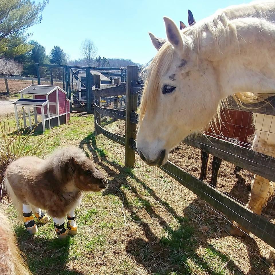 Dwarf Pony Gets New Legs Thanks To Bionic Braces  -InspireMore