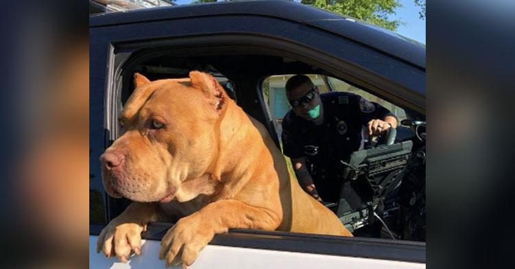 pit bull cop car