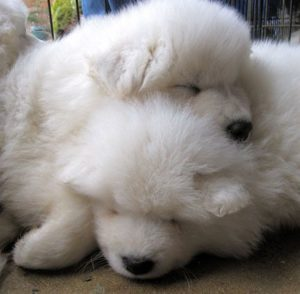 Check out this list of 19 of the cutest and fluffiest Samoyeds ever to exist!
