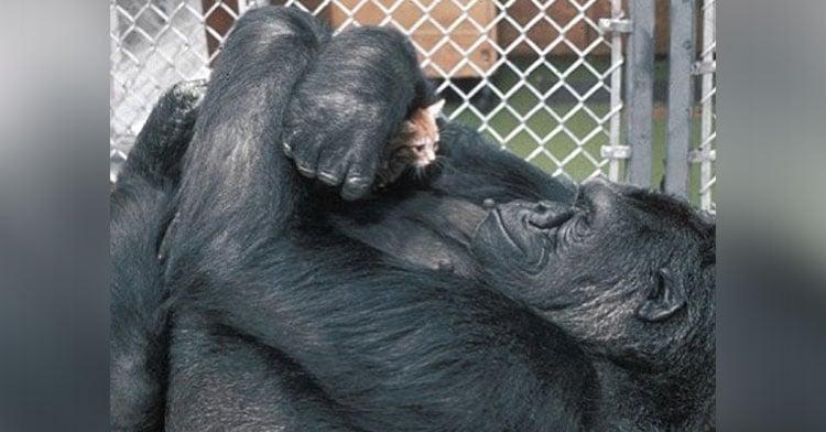 Our Tribute To Koko, The Gorilla Who Spoke To Humans.