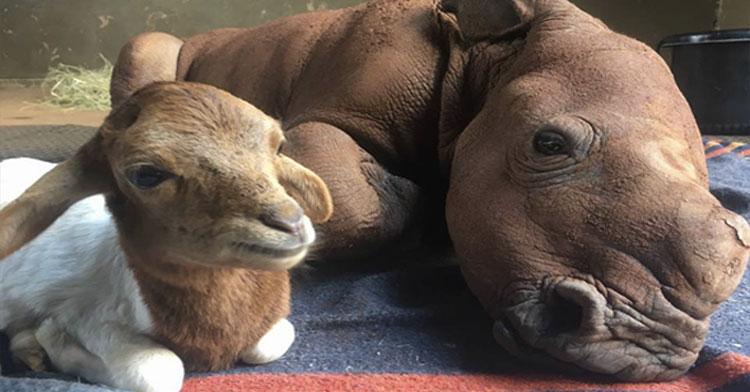 rhino and lamb