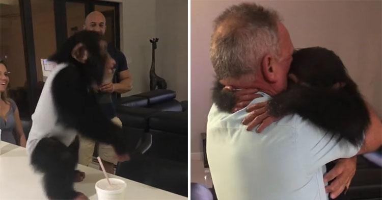 limbani chimp sees foster dad
