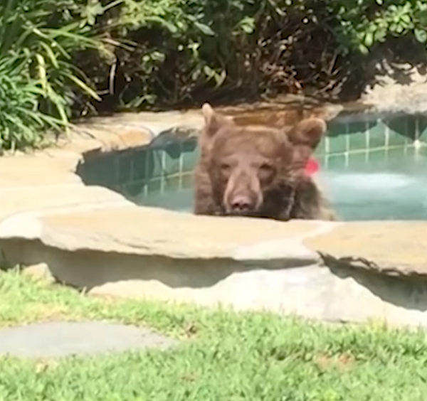 bear in hot tub