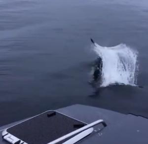 orca fluke