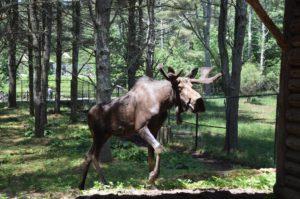 wildlife park moose