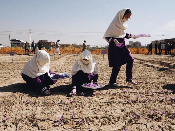 tahmina saffron field