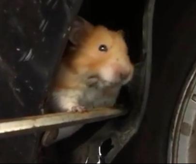 hamster in car