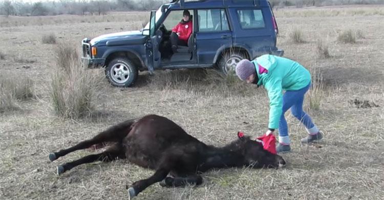 horse vet chains