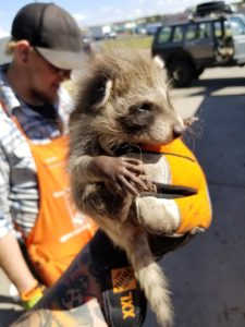baby raccoon home depot